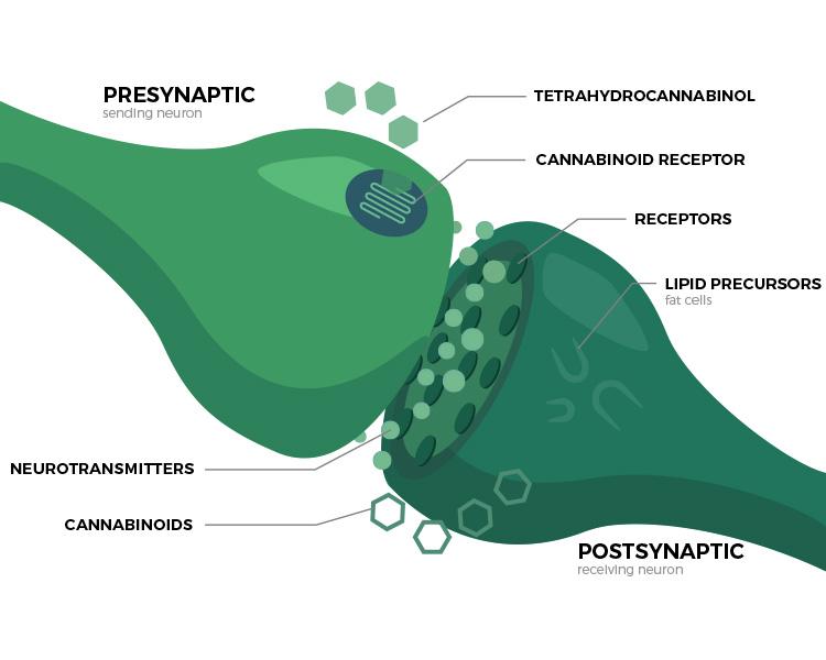 Endocannabinoid System Explained